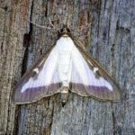 L'Ajuntament de Taradell informa sobre la plaga de papallones del boix